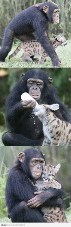 Chimp and his Kitteh