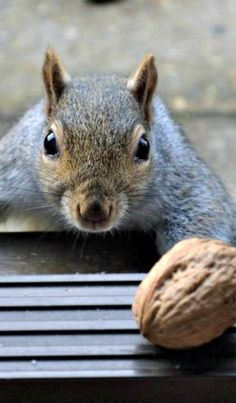 Walnut Lust... ❊ (see more great squirrel pins on **Feelin' Squirrely** group board)