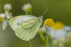 https://flic.kr/p/zbCQNm   Entre flores   jcfajardophotography.com/  Mariposa, Butterfly