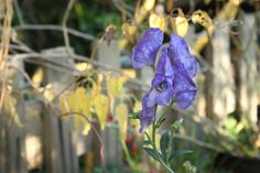 Chinese Aconite (Aconitum carmichaelii)   by Wiebke Rost
