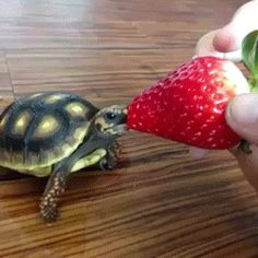 This tiny dude thoroughly enjoying his strawberry. | 21 Baby Animals So Tiny You Might Want To Cry