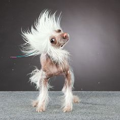 Chinese crested caught in motion
