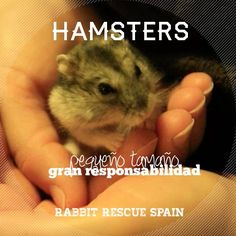 #adopta #hamster pequeño tamaño, gran responsabilidad http://www.madrigueraweb.org/articulo/cuidados-basicos-de-los-hamsters  http://www.madrigueraweb.org/articulo/hamsters-informacion-de-interes