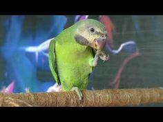 Chú Vẹt Tinh Khôn   Võ Kiến Văn   Vkv Parrot, Animals, Parrot Bird, Animales, Animaux, Animal, Animais, Parrots