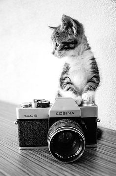 Kitty, kitten, killing, camera, cute, nuttet, pet, photography, adorable, photograph, photo b/w.