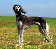 The saluki has also been known as a gazelle hound, royal dog of Egypt, Persian greyhound and tazi. Description from zoomies2.com. I searched for this on bing.com/images