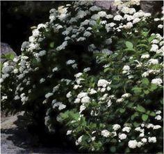Bjørkebladspirea Spiraea betulifolia `Tor` E : Bjørkebladspirea er en av våre mest hardføre spirea med stor prydverdi hele året, og en heldig kombinasjon av praktiske egenskaper og vakre blomster og blad. E-planten 'Tor' har en kompakt vekstform. Midtsommers blomstrer den rikt med vakre, renhvite blomster. Det frodige bladverket går om høsten over i sterkt gule og bronse farger. Greier seg på tørre plasser i fjellhagen og på skråninger og tåler snøtrykk. Som bunndekkende plante er den ...