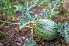 Thinning out fruit is also a common practice and is done to engender larger, hea… - Container Gardening How To Grow Watermelon, Watermelon Tattoo, Container Plants, Container Gardening, Gardening Tips, Veg Garden, Fruit Garden, Veggie Gardens, Horticulture