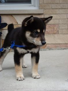 Shiba Inu is so beautiful Akita Puppies, Baby Puppies, Cute Puppies, Cute Dogs, Dogs And Puppies, Doggies, Shiba Inu Black, Baby Animals, Cute Animals
