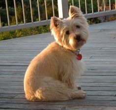 """This is the Cairn Terrier """"Pooh Bear"""" pose. Gatsby sits like this daily."""