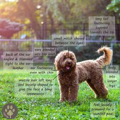 The perfect goldendoodle haircut - every doodle owner needs to look at this before taking their goldendoodle for grooming! The perfect goldendoodle haircut - every doodle owner needs to look at this before taking their goldendoodle for grooming! Chien Goldendoodle, Goldendoodle Haircuts, Goldendoodle Grooming, Dog Haircuts, Goldendoodles, Labradoodles, Dog Hairstyles, Goldendoodle Training, Chocolate Goldendoodle