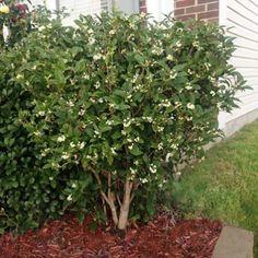 Fragrant Tea Olive - Osmanthus Fragrans for Sale - Brighter Blooms Nursery