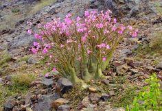 MODOS DE OLHAR: Rosa-do-deserto, Rosa das areias (Adenium obesum, Adenium coetaneum)