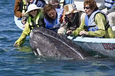 Tourists watching a Grey Whale (Eschrichtius robustus), San Ignacio Lagoon, El Vizcaino Biosphere Reserve, Baja California Sur, Mexico.