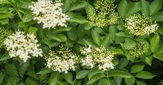 Sabugueiro (Sambucus nigra). Excelente contra febre, gripes e resfriados e problemas renais.  Fotografia: Reprodução.
