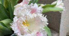 Ein privates Blog über meinen Stauden- und Naturgarten sowie meine Hobbys wie Kartenbasteln und über unser Leben als Familie in der Zentralschweiz. Friday, Plants, Daffodils, Natural Garden, Shade Perennials, Tulips, Hobbies, Nice Asses, Life