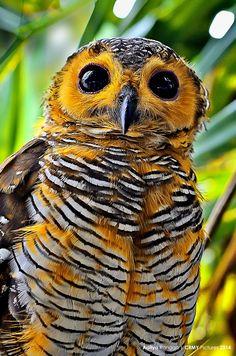 Owl at Karang Paranje beach Garut West Java