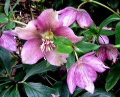 The Outlander Plant Guide: Black Hellebore and A Little Girl's Tears Green Flowers, Colorful Flowers, White Flowers, Buy Plants, Shade Plants, Lenten Rose, Plant Guide, Plant Information, Elegant Flowers