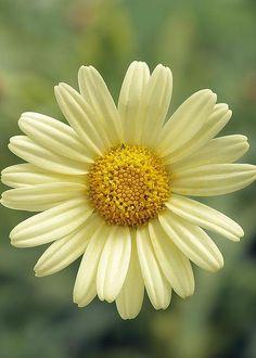 Argyranthemum by Geoff Kidd