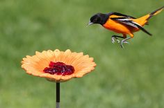 Top Tips for Attracting Orioles to Your Yard Print    7  122 Jill Staake by Jill Staake on March 6, 2013
