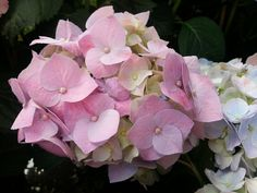flower, beauty in nature, petal, nature, fragility, growth, plant, pink color, freshness, blooming, no people, hydrangea, outdoors, flower head, day, leaf, close-up, bougainvillea, periwinkle
