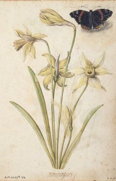 Daffodils and a Red Admiral Butterfly, by Huguenot artist Jacques Le Moyne de Morgues (France, 1533–1588), from an album of 59 watercolours of flowers, fruits, butterflies and moths, ca.1575. Watercolour and bodycolour