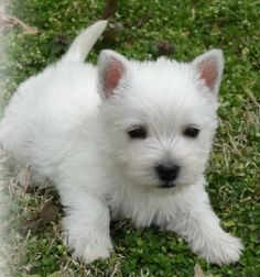 Primrose - Diane's Westies If you're a Dog Lovers, check out this Dogs collection, you may like it :) Here's link ==> https://www.sunfrog.com/tuanldshirt/dogs #dogs #ilovedogs