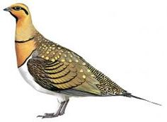 Pin-tailed Sandgrouse (Pterocles alchata)