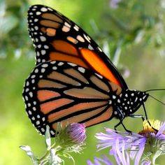 Monarch on a New England Aster Butterfly Food, Monarch Butterfly, Flying Flowers, Create A Family, All Gods Creatures, Aster, Beautiful Butterflies, Blue Flowers, Blessings