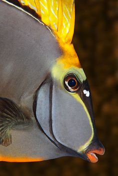 By Norbert Probst. This is a Unicornfish.