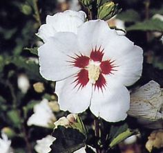Tough and beautiful Rose of Sharon:  How to Grow Rose of Sharon