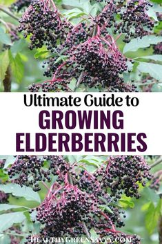 This comprehensive guide to growing elderberries and elderflowers contains everything you need to know about how to grow elderberry plants in your own backyard, including growing conditions, propagation methods, elderberry plant care, and MUCH more. #elderberry #permaculture #ediblelandscaping #medicinalplants #elderflower #gardening #perennialfruit Elderberry Plant, Green Living Tips, Elderflower, Companion Planting, Edible Flowers, Propagation, Medicinal Plants, Outdoor Plants, Plant Care