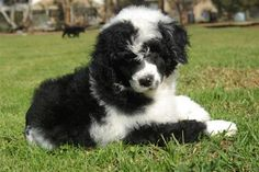 Portuguese Water Dog omg I want one they are adorable ♥