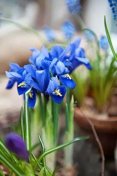 Iris Flowers, My Flower, Blue Flowers, Flower Power, Iris Garden, Blue Garden, Crocosmia, White Gardens, Spring Blooms