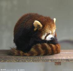 shy red panda is bashful, please don't look!