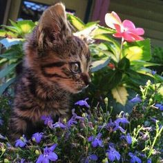 Things that make you go AWW! Like puppies, bunnies, babies, and so on. A place for really cute pictures and videos! Cute Cats And Kittens, I Love Cats, Kittens Cutest, Cute Baby Animals, Animals And Pets, Chat Maine Coon, Curious Cat, Domestic Cat, Cute Creatures