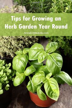 Tips for Growing an Herb Garden Year Round; Fresh herbs lend so many flavors to your foods, and these tips for growing an herb garden year round are perfect for making that a possibility any time.