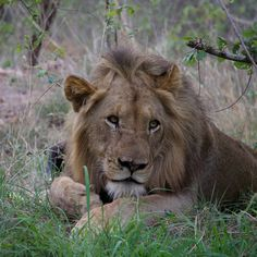 Male Lion by Isabel Display Advertising, Print Advertising, Marketing And Advertising, Kruger National Park, National Parks, Lions Photos, Male Lion, Us Images, Beautiful Pictures