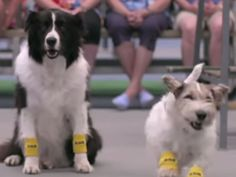 Love this video! These dogs become helpful Ball boys in this warm-up between Venus Williams and her opponent!