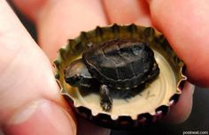 Teensey, weensey, itsy, bitsy turtle...