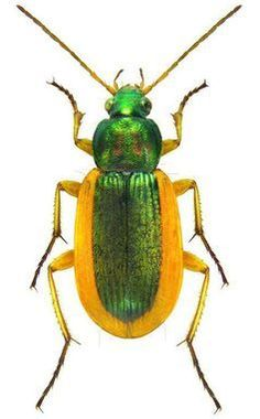 Photos - BUGS & INSECTS - Chrysina purulhensis