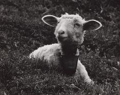 Martin Martinček: Baránok:1960 - 1964 Sheep, Goats, Animals, Face, Nature, Photography, Author, Lens, Animales