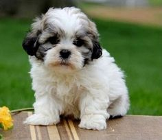 What is a teddy bear dog? Read about teddy bear dogs to know if teddy bear puppies are right for you. See the pictures and teddy bear dogs for sale here. Bear Dog Breed, Teddy Bear Puppies, Baby Puppies, Bear Puppy, Cute Puppies, Dogs And Puppies, Teddy Bears, Shichon Puppies For Sale, Husky Puppy