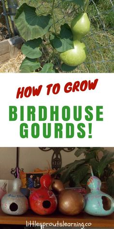Growing birdhouse gourds for crafts is easier than you think. Drying gourds and making birdhouses from them takes some time, but it's simple to do and fun. Birdhouse gourds are unique and birds love to make nests in them, plus you can have tons of fun decorating the gourds and using them to decorate the garden.