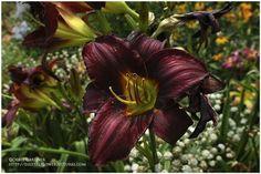 Hemerocallis 'Kathryn's Black'