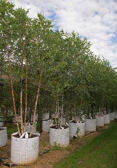 The Barcham tree nursery is situated in the heart of Cambridgeshire. Covering over 300 acres of land, it is by far the largest tree nursery of its type in Europe. All Plants, Live Plants, Buy Trees Online, Tree Specialist, Betula Pendula, Modern Agriculture, Planting, Concept, Flat