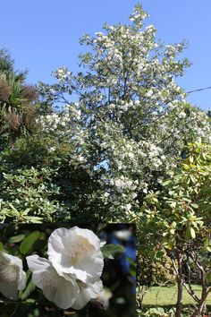 Chionanthus retusus a deciduous shrub or small to medium for Small sized evergreen trees