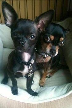 Chihuahuas oh so cute. by abbyy #chihuahua