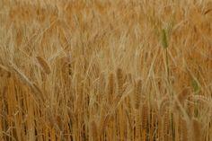 barley field 麦畑 群馬県邑楽町
