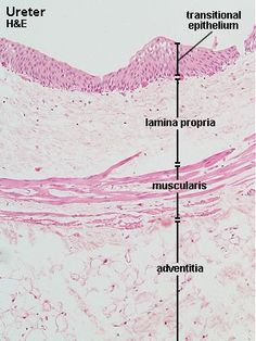 HA235 - Histology - Urinary System